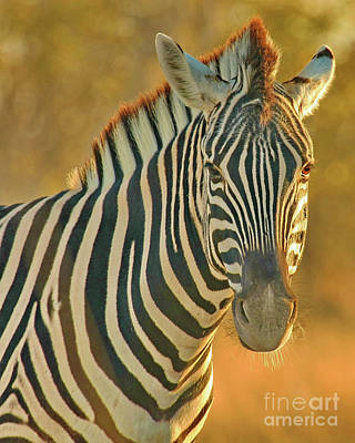 Zebra At Sunset Original by Tom Cheatham