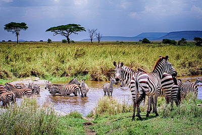 Photograph - Zebra At The Watering Hole by Janis Knight