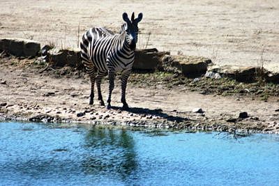 Mixed Media - Zebra At The Watering Hole by Steve Karol