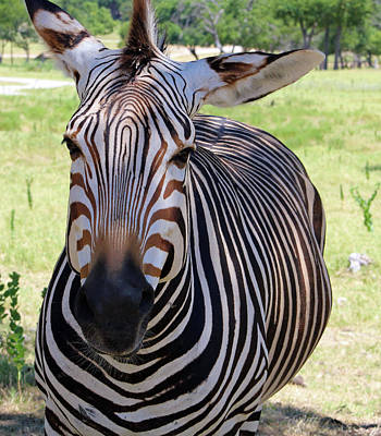 Photograph - Zebra by Inspirational Photo Creations Audrey Woods
