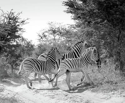 Photograph - Zebra Black And White by Tim Hester