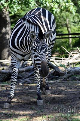 Photograph - Zebra by Brenda Thour