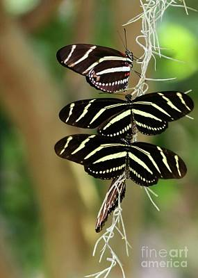 Zebra Butterflies Hanging On Art Print by Sabrina L Ryan