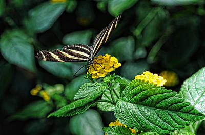 Photograph - Zebra Butterfly 1 by Lawrence Christopher