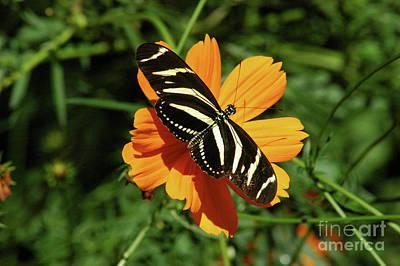 Photograph - Zebra Butterfly by Robert Anschutz