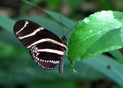 Photograph - Zebra Butterfly by T Guy Spencer