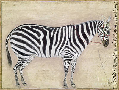 Photograph - Zebra, C1620 by Granger