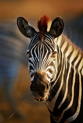 Shoulder Photograph - Zebra Close-up Portrait by Johan Swanepoel