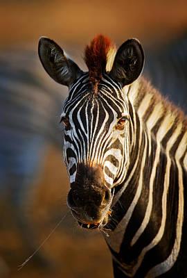 Portraits Photos - Zebra close-up portrait by Johan Swanepoel