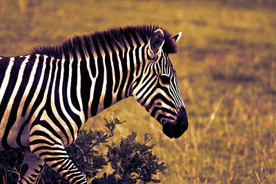 Photograph - Grassland Zebra by Aidan Moran