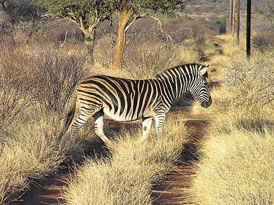 Photograph - Zebra Crossing by Phil Stone