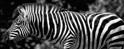 Photograph - Zebra by Wes and Dotty Weber