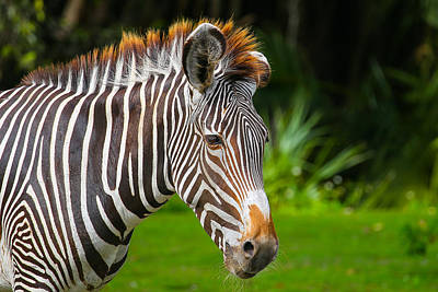 Photograph - Zebra by Dart and Suze Humeston