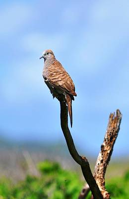 Photograph - Zebra Dove by Andrew Dinh