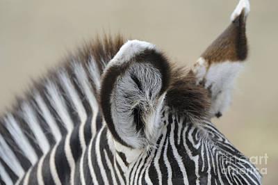 Zebra Wall Art - Photograph - Zebra Ears by David & Micha Sheldon