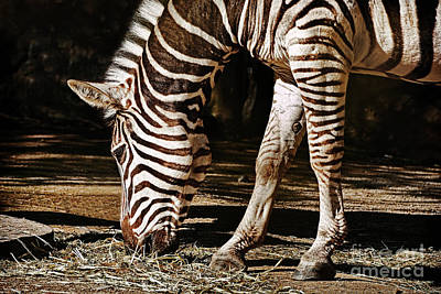 Photograph - Zebra Eating By Kaye Menner by Kaye Menner