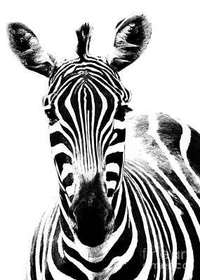 Photograph - Zebra Face by Hal Halli