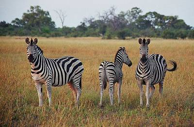 Photograph - Zebra Family by Bruce W Krucke