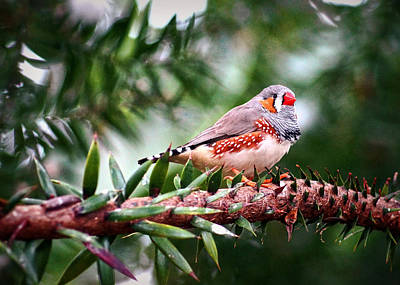 Photograph - Zebra Finch by Cameron Wood