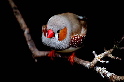 Photograph - Zebra Finch by Perggals - Stacey Turner