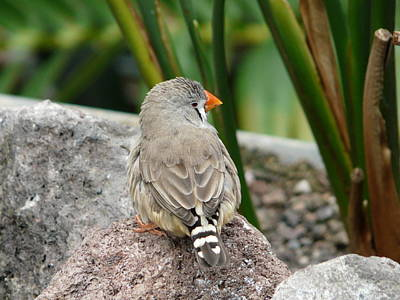 Photograph - Zebra Finch by Valerie Ornstein