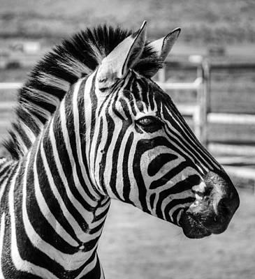 Photograph - Zebra by Geraldine Alexander