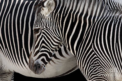 Camouflaging Photograph - Zebra Head by Carlos Caetano