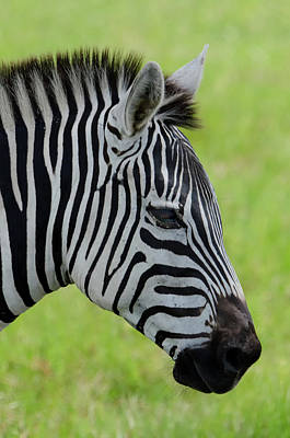 Zebra Photograph - Zebra Head Profile On Savannnah by Artful Imagery