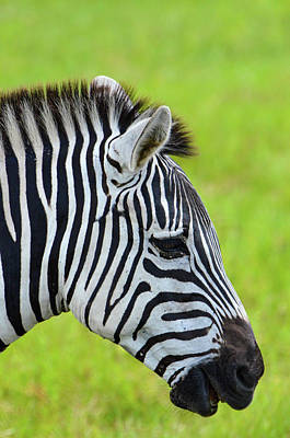 Zebra Photograph - Zebra Head Smiling With Mouth Open by Artful Imagery