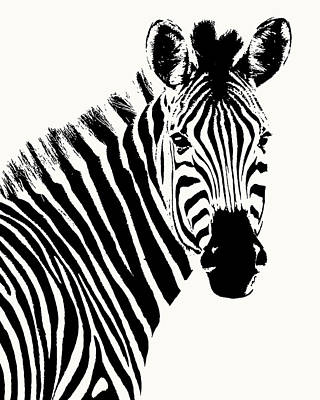 Photograph - Zebra In Graphic Black And White by Scotch Macaskill