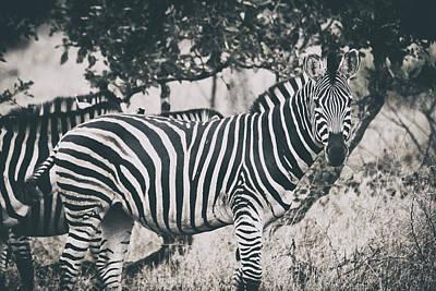 Zebra In Savanna Old Style II Art Print