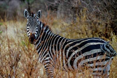 Photograph - Zebra In The Tarangire by Marilyn Burton