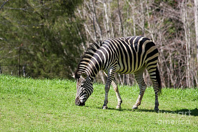 Photograph - Zebra by Jill Lang