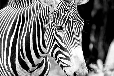 Photograph - Zebra by John Rizzuto