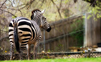 Photograph - Zebra by Lana Trussell