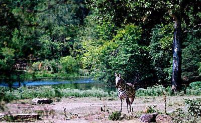 Photograph - Zebra Landscape by Steve Karol