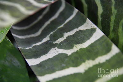 Photograph - Zebra Leaf Bromeliad by Jennifer Bright