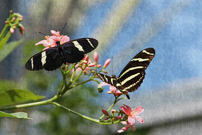 Photograph - Zebra Longwing Butterflies by Bonnie Follett