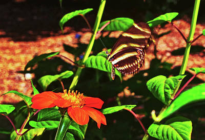 Photograph - Zebra Longwing Butterfly 007 by George Bostian
