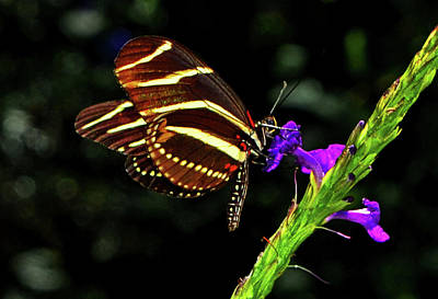 Photograph - Zebra Longwing Butterfly 009 by George Bostian