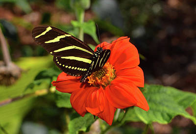 Photograph - Zebra Longwing Butterfly 010 by George Bostian