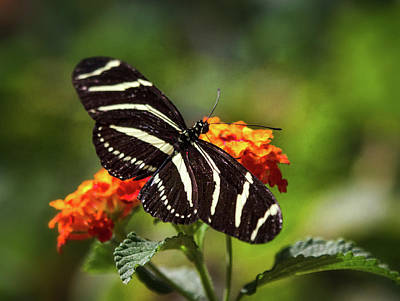 Photograph - Zebra Longwing Butterfly Atop Lantana by Saija Lehtonen