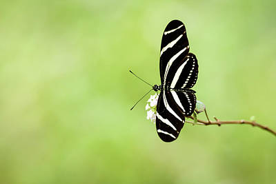 Photograph - Zebra Longwing Butterfly by Debra Martz