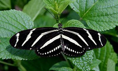 Butterlfy Photograph - Zebra Longwing Butterfly by Erin O'Neal-Morie