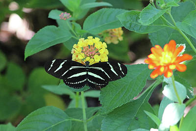 Photograph - Zebra Longwing Butterfly Heliconius Charitonia by Captain Debbie Ritter