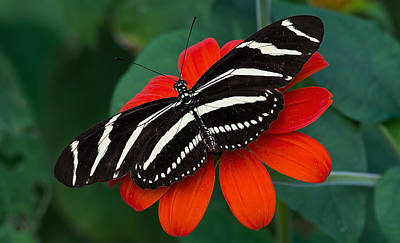 Photograph - Zebra Longwing Butterfly by Kenneth Albin