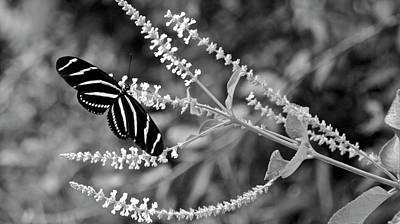 Photograph - Zebra Longwing Butterfly On Sweet Almond Bush by Carol Bradley
