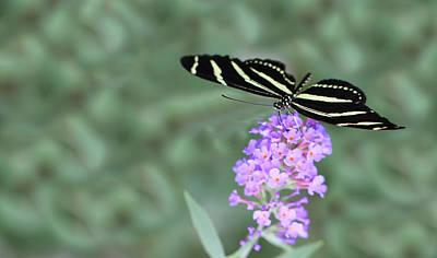 Purple Zebra Photograph - Zebra Longwing Butterfly  by Shelley Neff