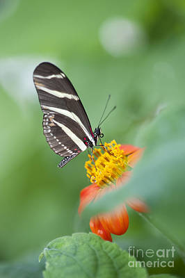 Photograph - Zebra Longwing Butterfly by Tim Gainey
