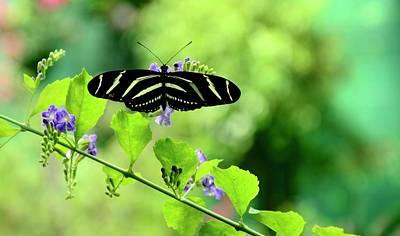 Photograph - Zebra Longwing Butterfly by Corinne Rhode